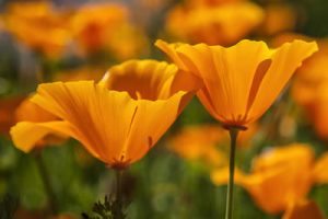 California Poppies, a sign of hope even in a drought.