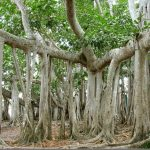 Banyan Trees:  Who Are Your Prop Roots?